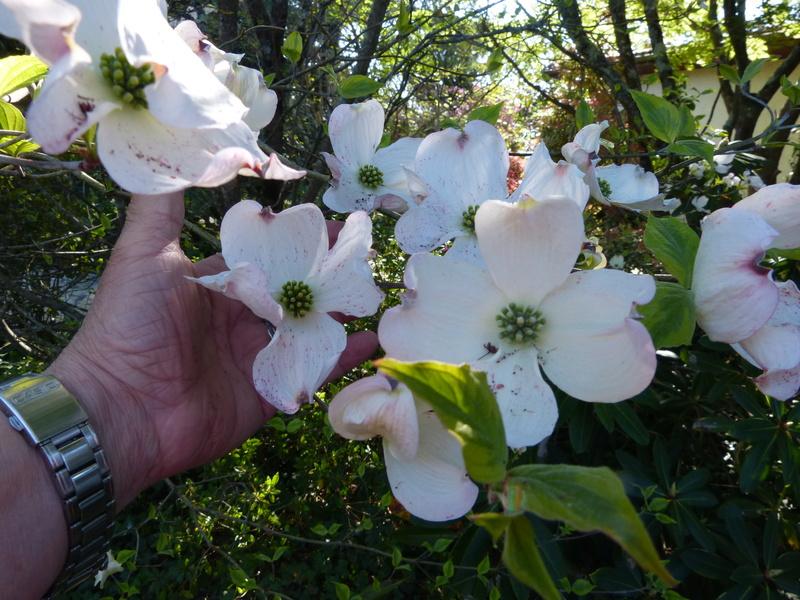 explosion florale - Page 3 Cornus12