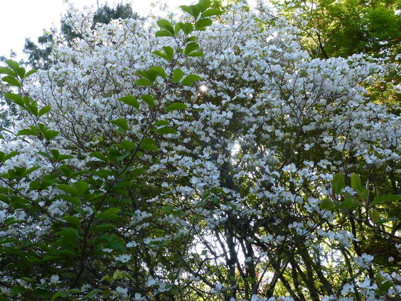 explosion florale - Page 3 Cornus13