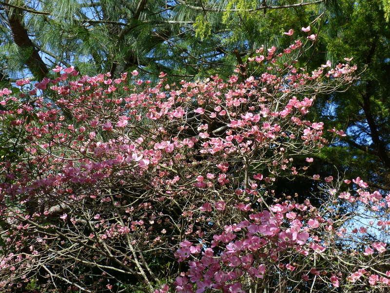 Cornus florida - cornouiller à fleurs  - Page 2 Cornus14