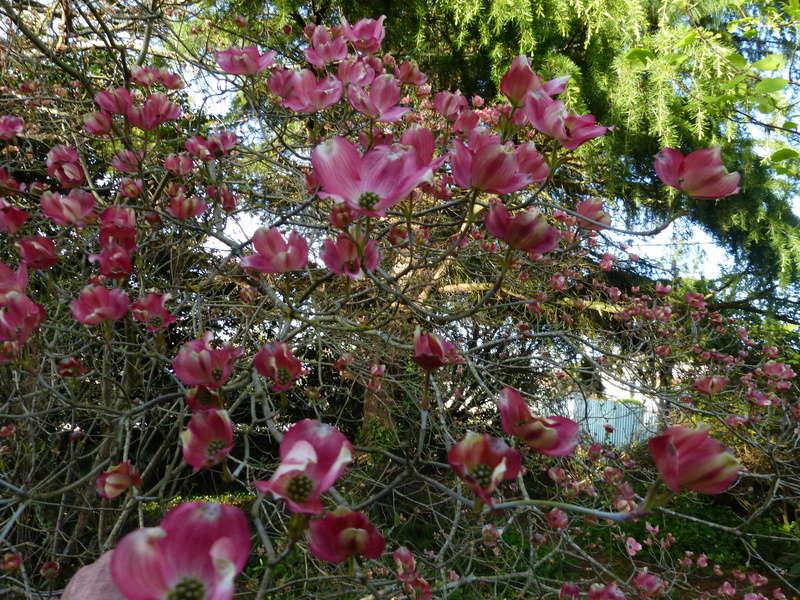 Cornus florida - cornouiller à fleurs  - Page 2 Cornus15