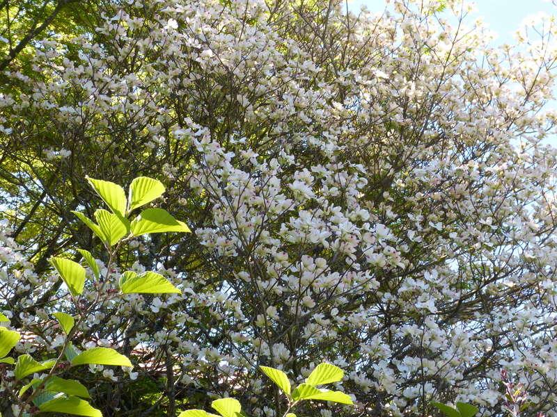 Cornus florida - cornouiller à fleurs  - Page 2 Cornus16