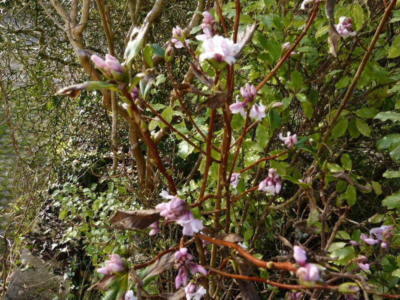 couleurs d'hiver au jardin  Daphne13