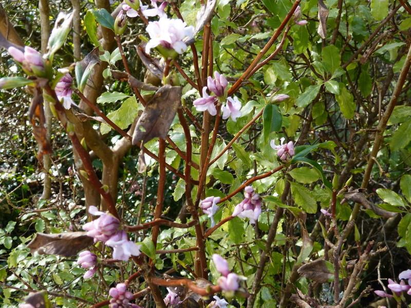 couleurs d'hiver au jardin  Daphne14