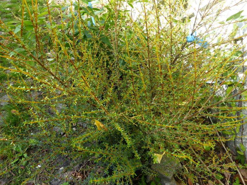 Telopea speciosissima, Olearia solandri aurea, Clytostoma callistegioides [devinette] Devine19