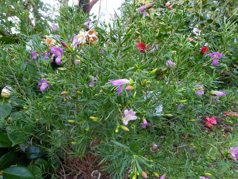 giboulées de fleurs ? - Page 2 Eremop14