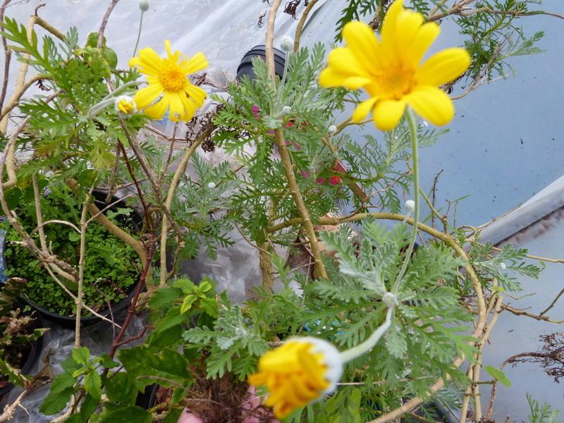 couleurs d'hiver au jardin  Euryop10