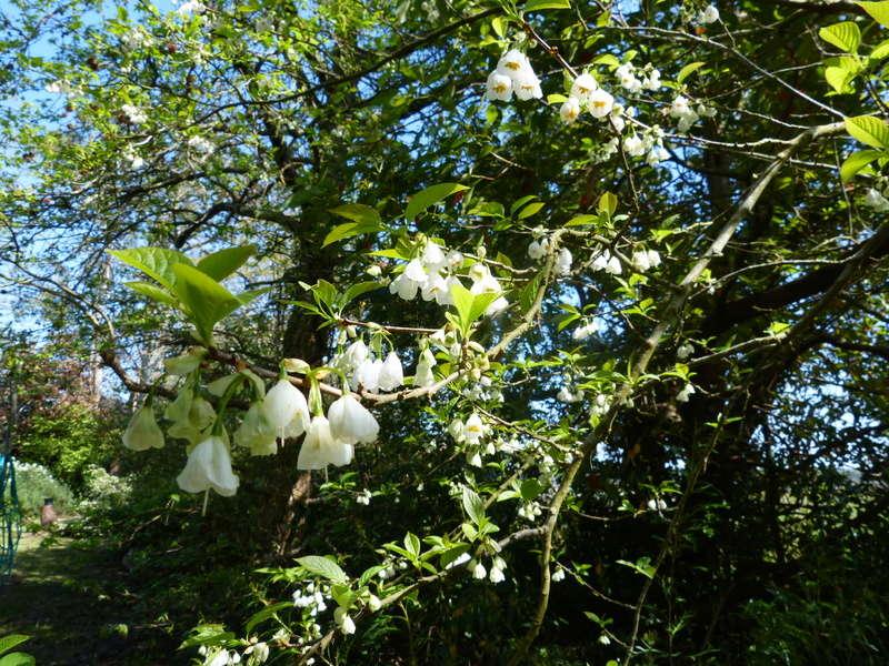 explosion florale - Page 3 Halesi10