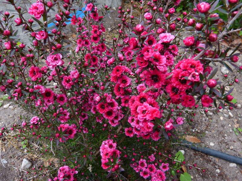 Leptospermum scoparium - arbre à thé rose Leptos11