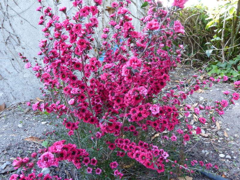 Leptospermum scoparium - arbre à thé rose Leptos12