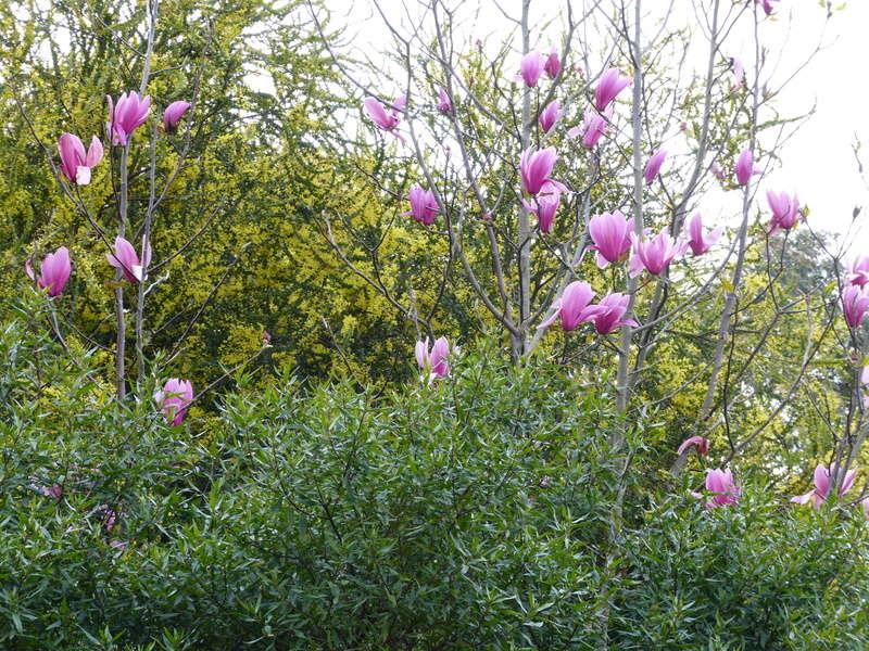 explosion florale Magnol16