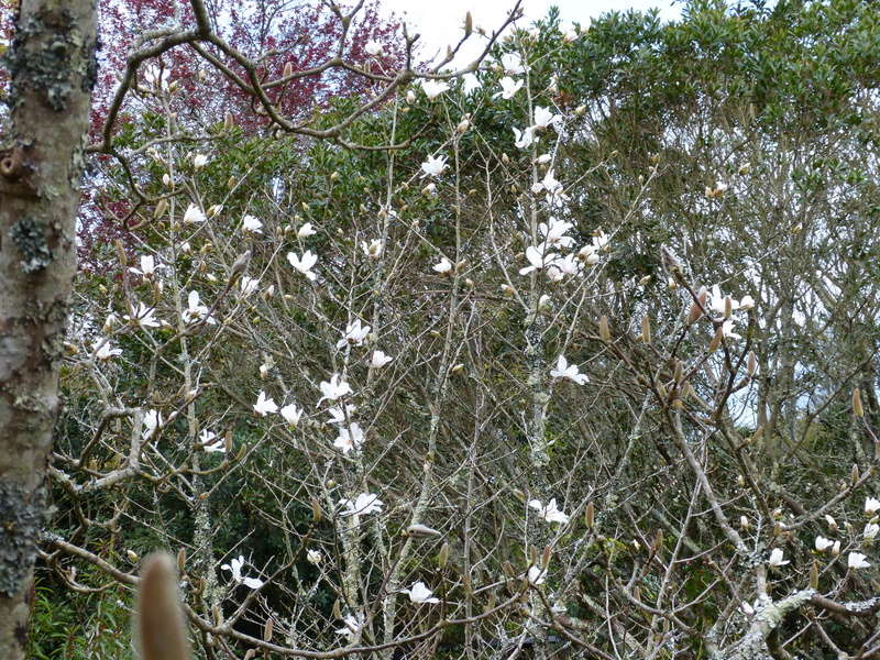 explosion florale Magnol17