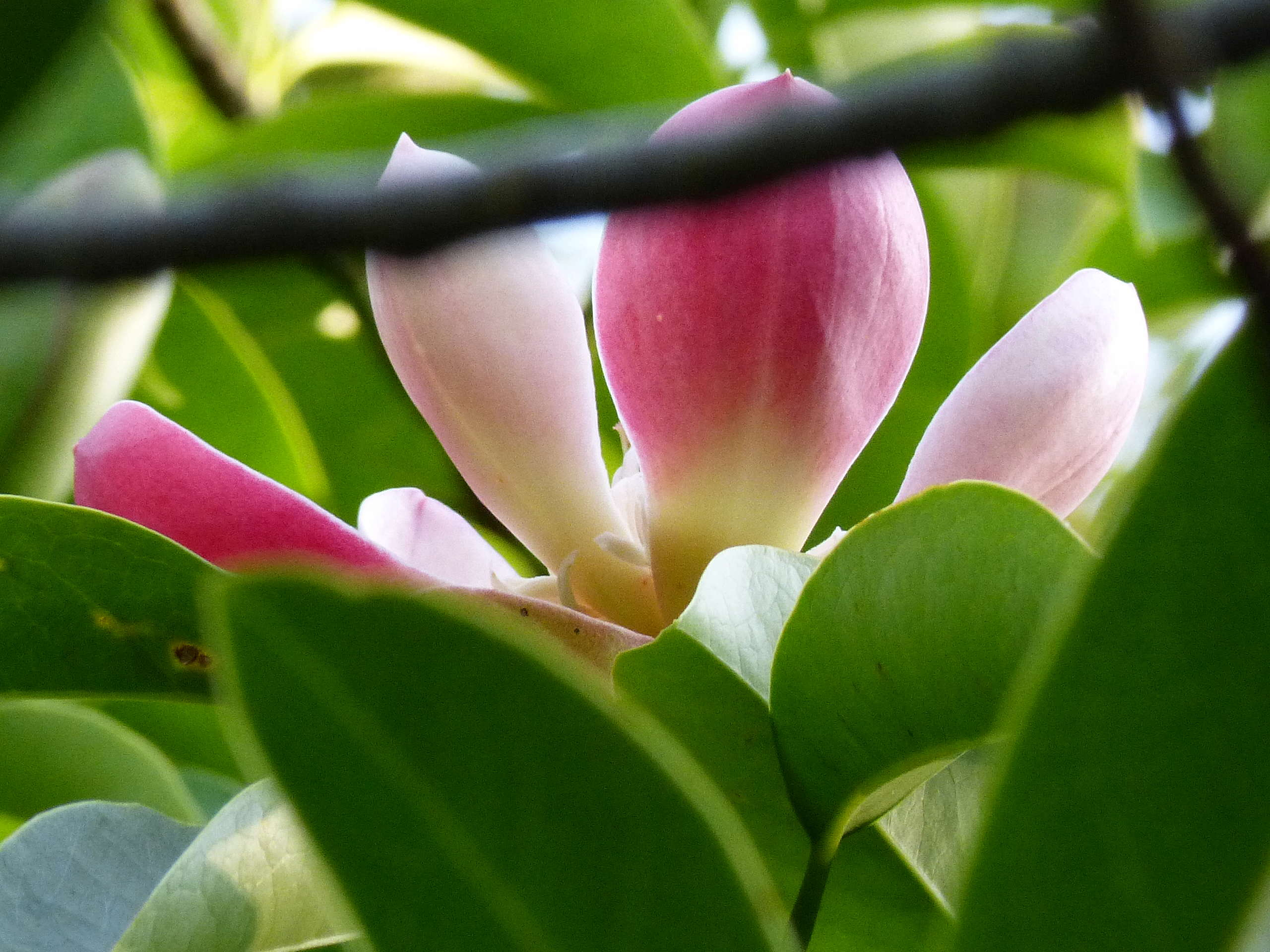 Magnolia insignis (= Manglietia insignis) Mangli12