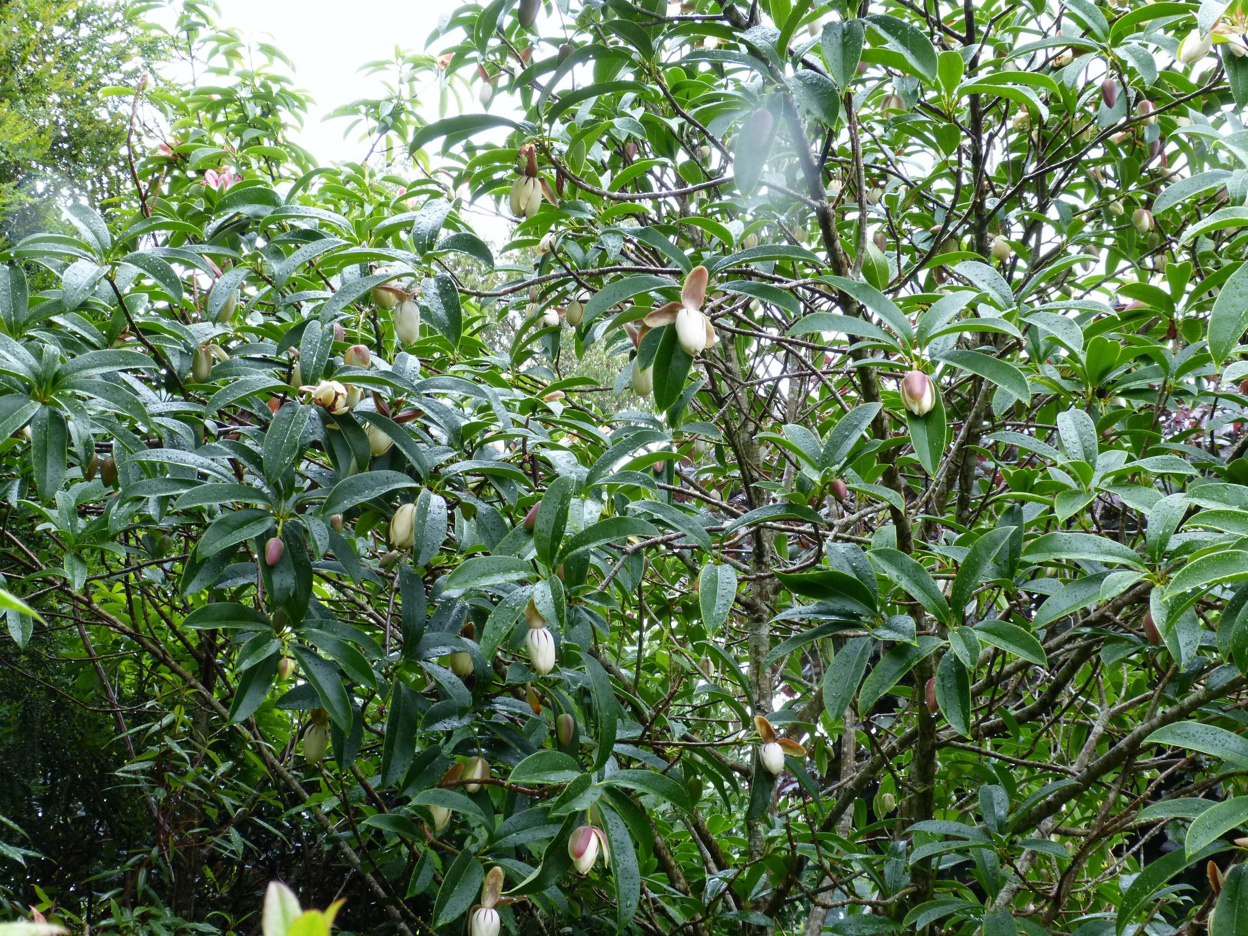 Magnolia conifera var. chingii (= Manglietia chingii) Mangli16