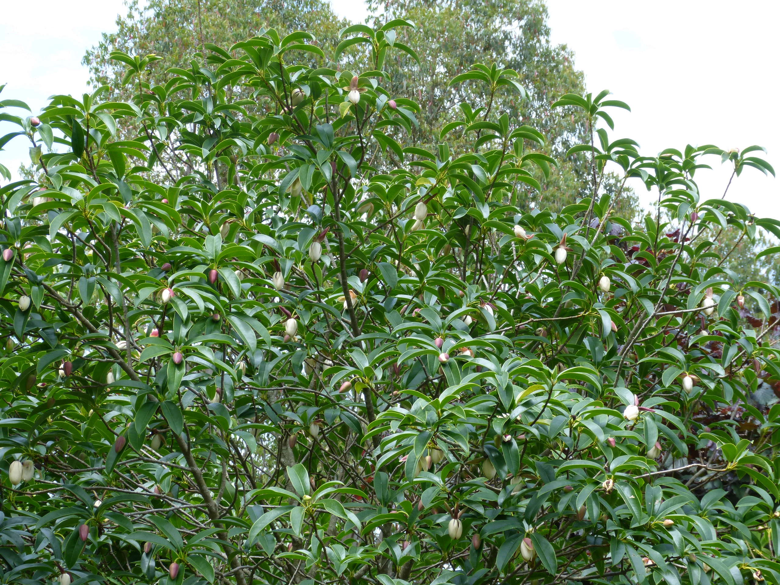 Magnolia conifera var. chingii (= Manglietia chingii) Mangli17
