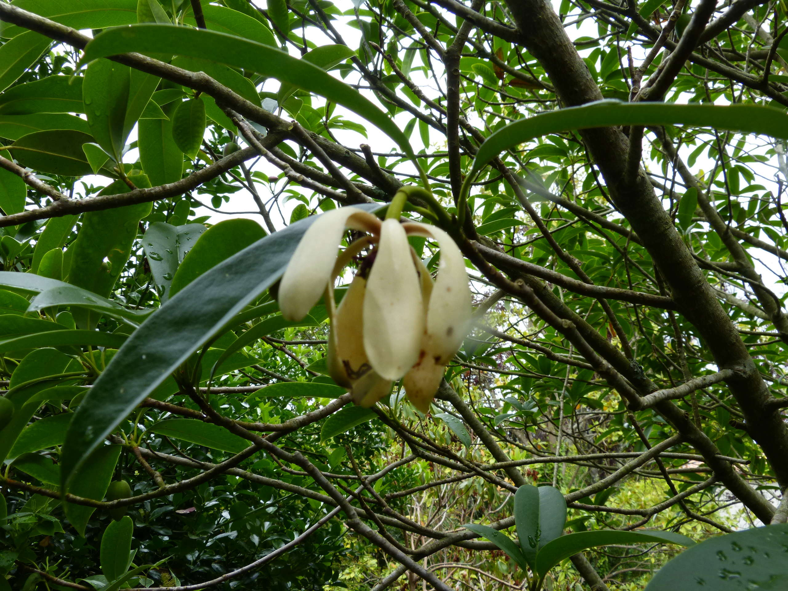 Magnolia conifera var. chingii (= Manglietia chingii) Mangli19