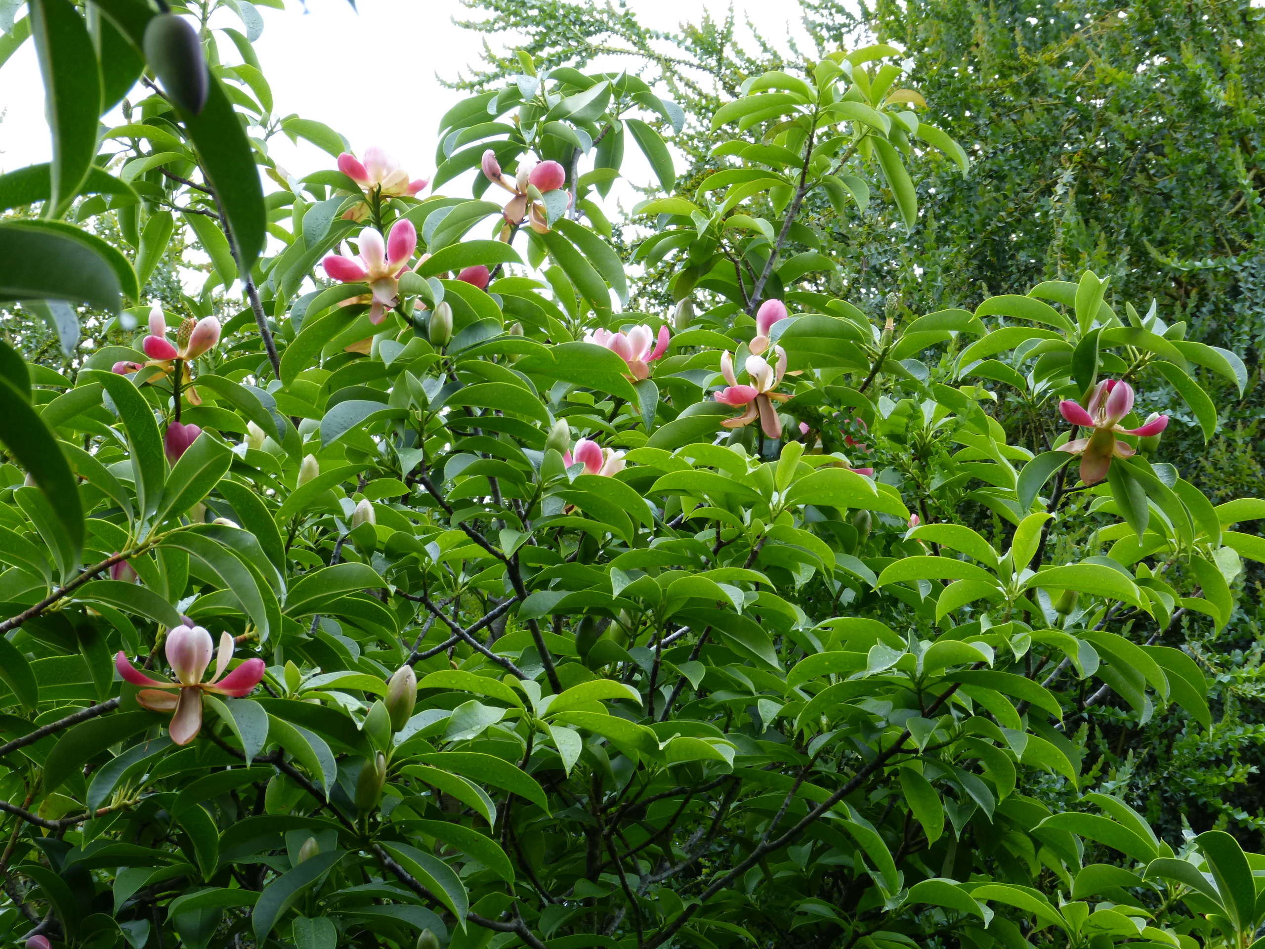 Magnolia insignis (= Manglietia insignis) Mangli22