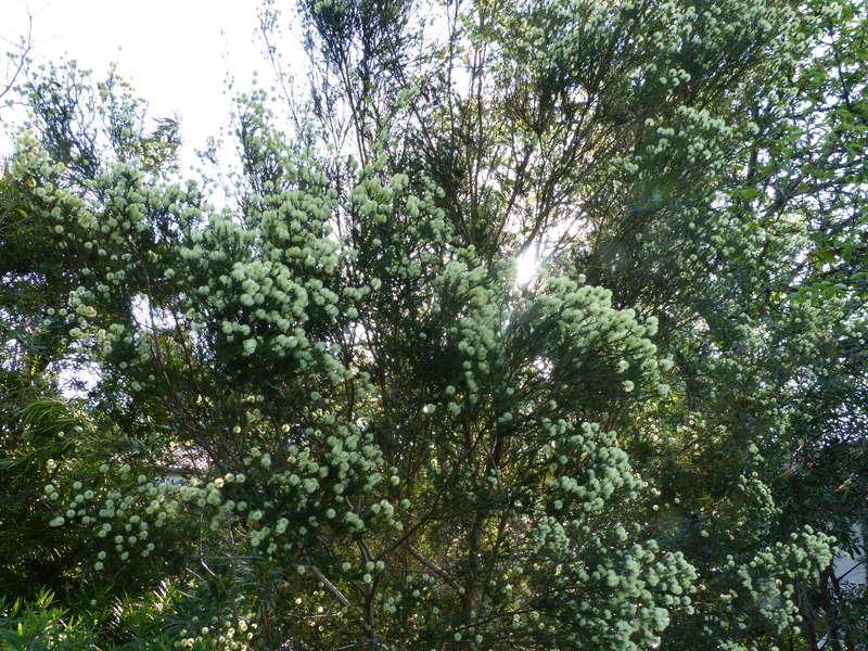 Melaleuca pustulata Melale14