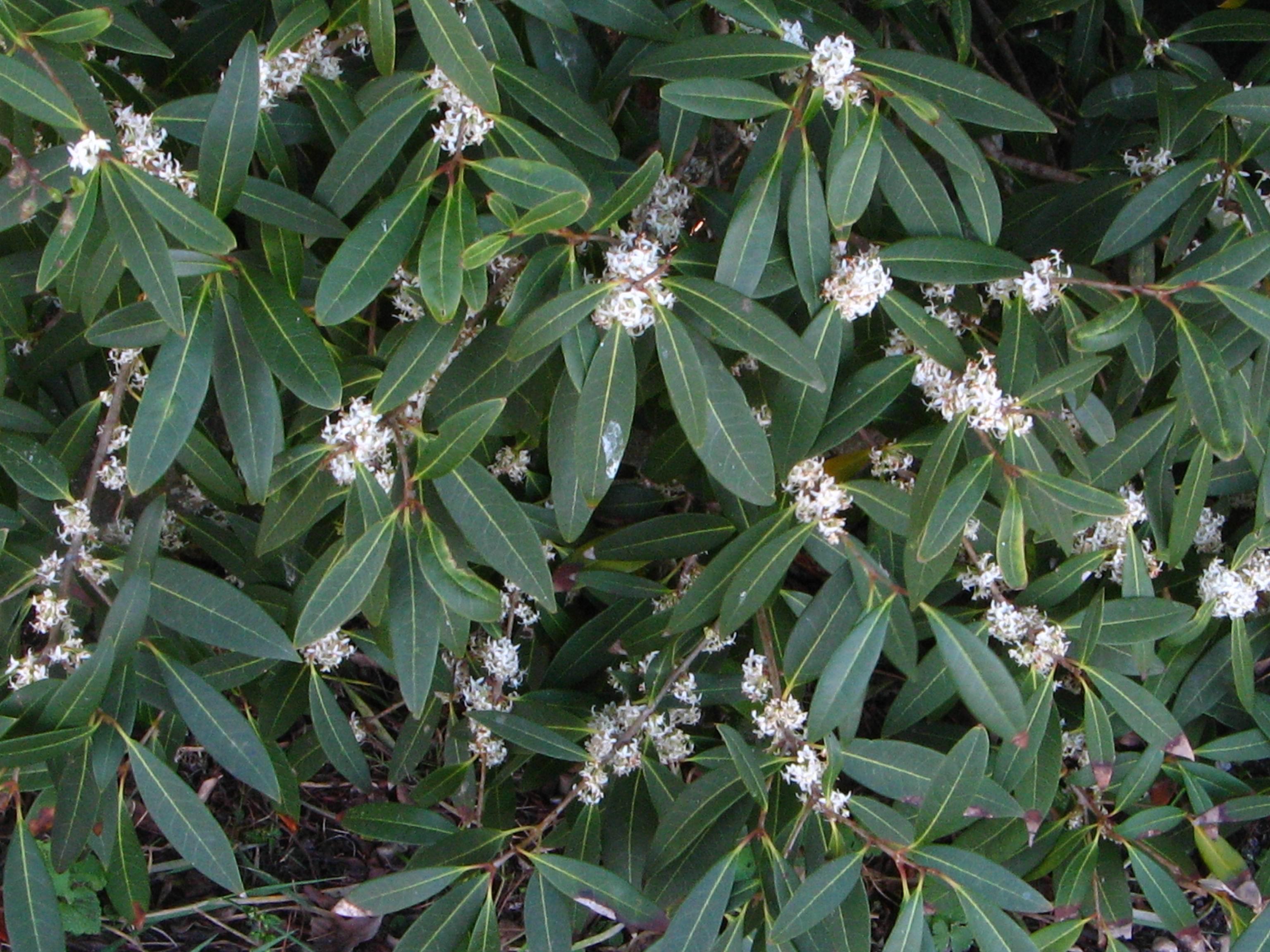 Phillirea vilmoriana angustifolia  [Identification] Phylli10