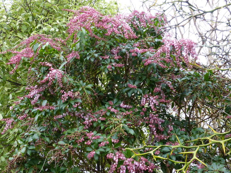 couleurs d'hiver au jardin  Pieris11