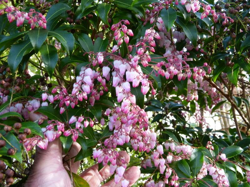 couleurs d'hiver au jardin  Pieris12