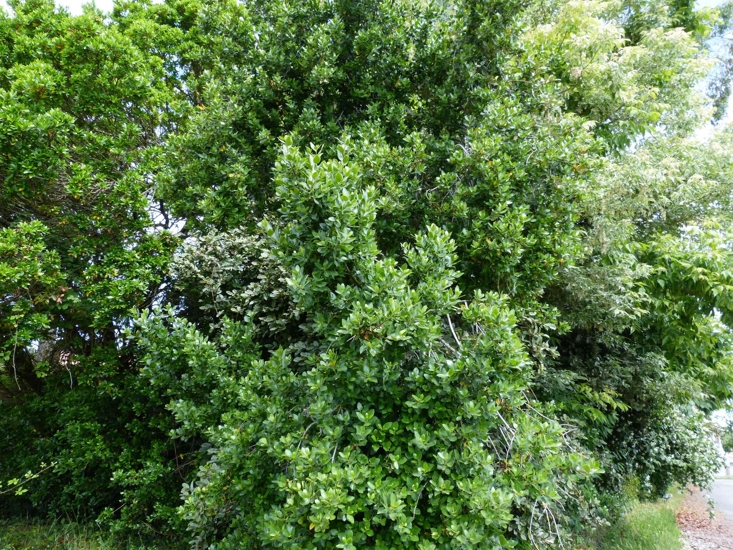 Rhamnus alaternus - nerprun alaterne Rhamnu10