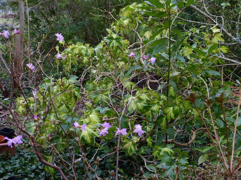 couleurs d'hiver au jardin  - Page 2 Rhodod12