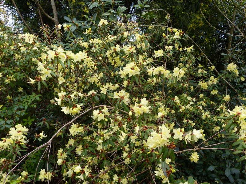 explosion florale Rhodod21