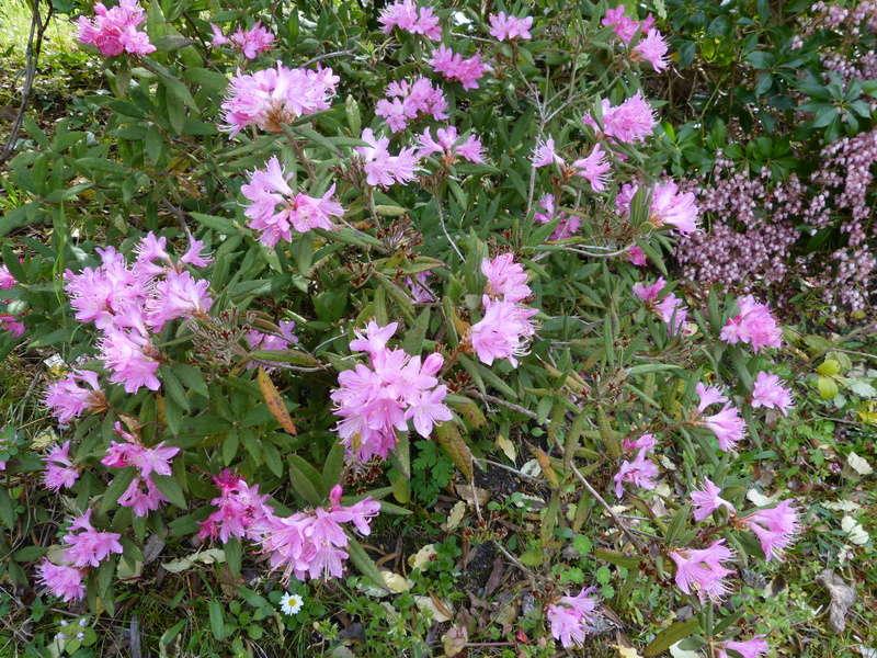 explosion florale Rhodod22