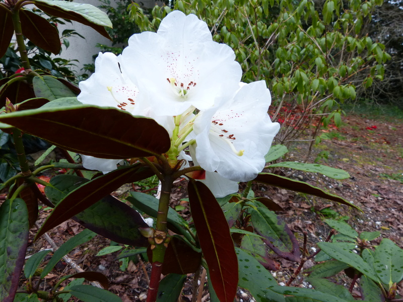explosion florale Rhodod24