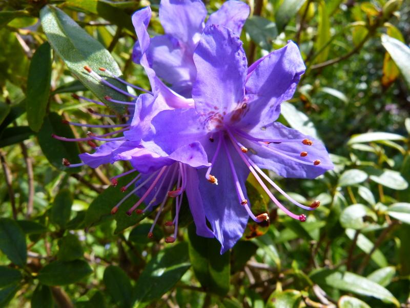 explosion florale Rhodod25