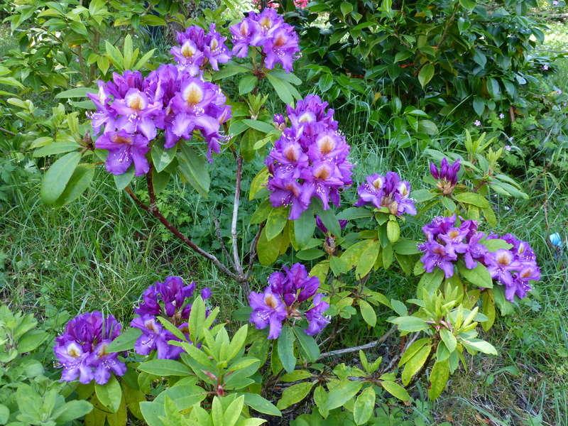 les jardins sont beaux en mai ! - Page 3 Rhodod71
