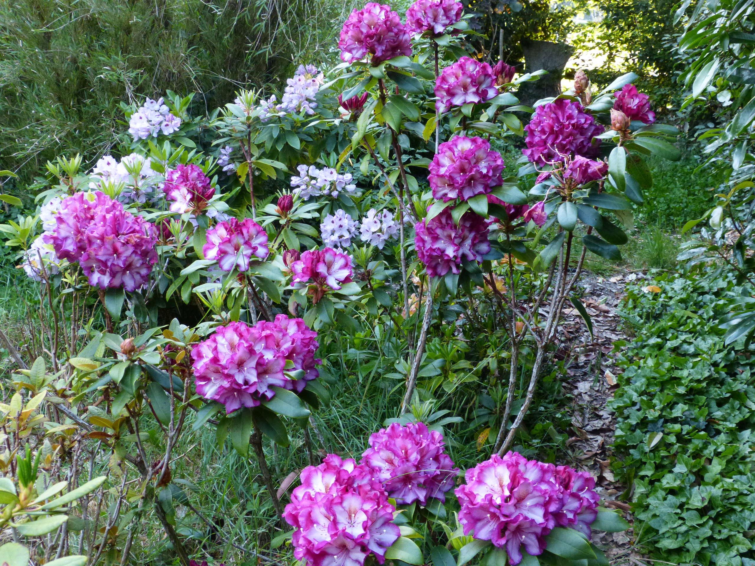 les jardins sont beaux en mai ! - Page 4 Rhodod77