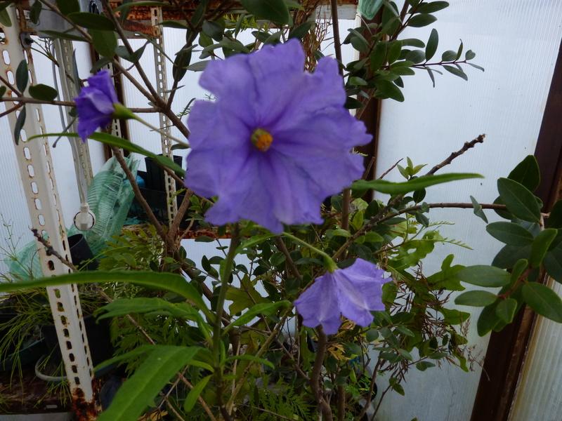 explosion florale - Page 2 Solanu11