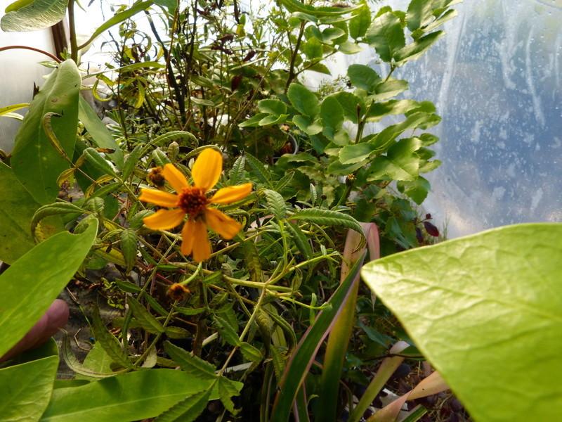 dernières fleurettes de l'année - Page 2 Tagete10