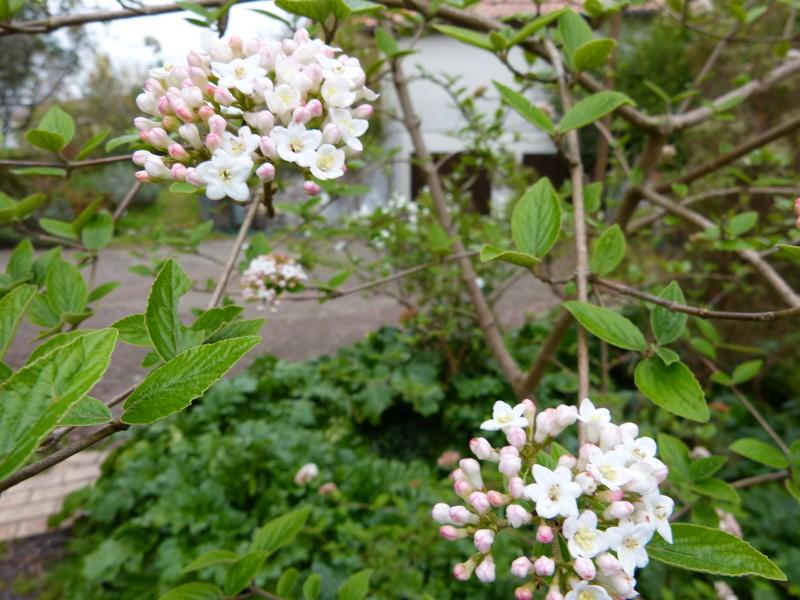 explosion florale Viburn16
