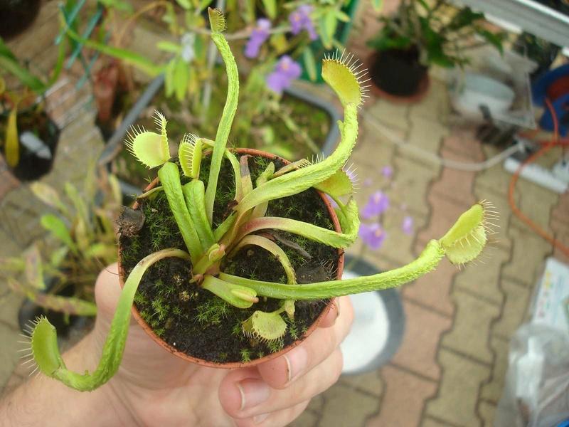Suivi semis et germination Dionaea [Ted82] - Page 12 Dsc00810