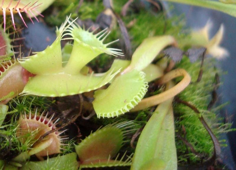 Suivi semis et germination Dionaea [Ted82] - Page 12 Dsc01014