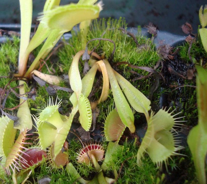 Suivi semis et germination Dionaea [Ted82] - Page 12 Dsc01016