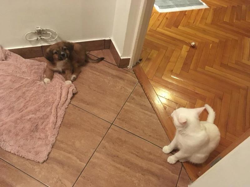 Snoopy, chiot né en décembre 2017, petite taille 26994310