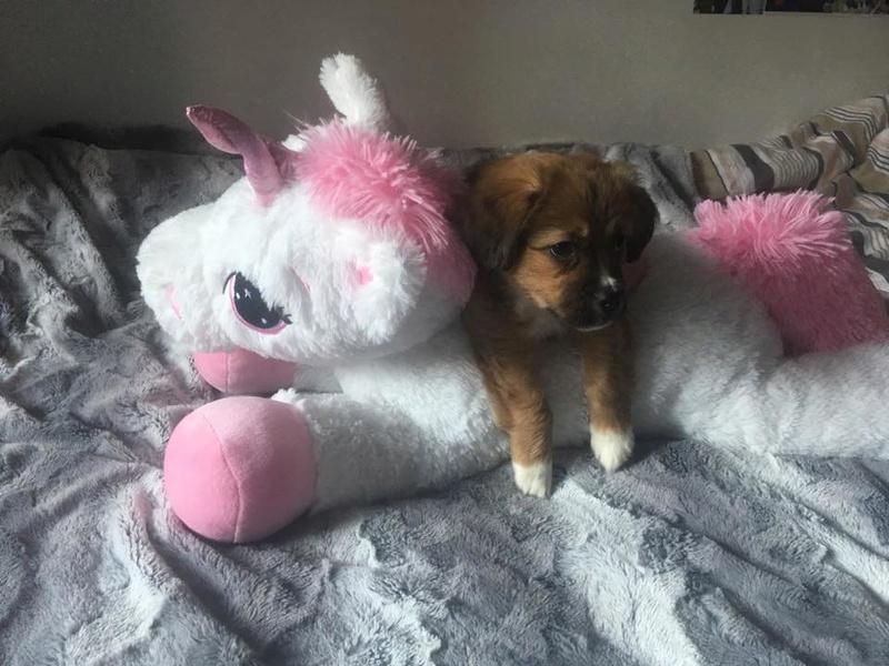 Snoopy, chiot né en décembre 2017, petite taille 27654610