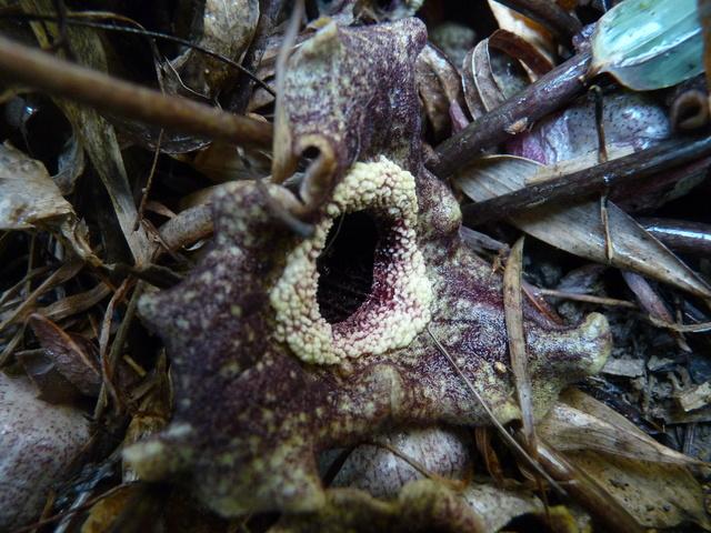 Asarum splendens - gingembre sauvage de Chine  Asarum11