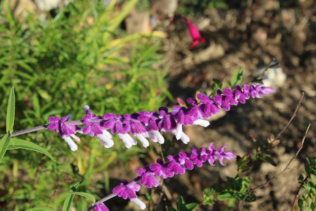Salvia - les floraisons du moment - Page 18 Img_3912