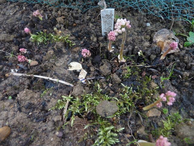 couleurs d'hiver au jardin  Mukden10