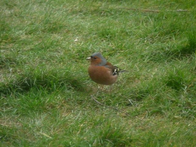 Identification oiseaux - Page 2 Oiseau13