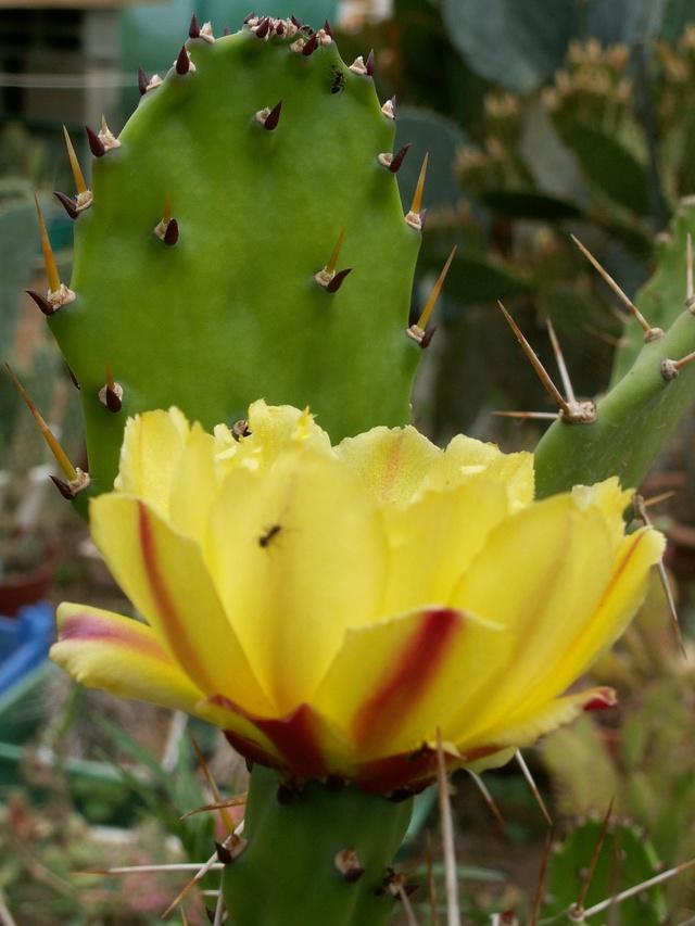 Opuntia monacantha  - Page 2 Opunti10