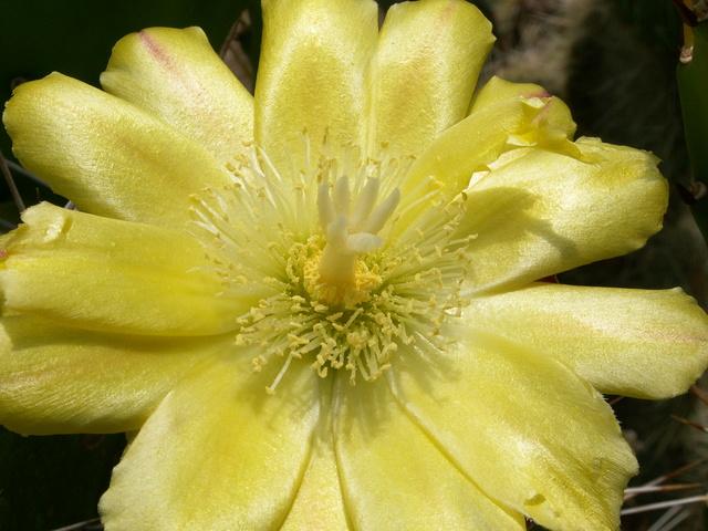 Opuntia monacantha  - Page 2 Opunti13
