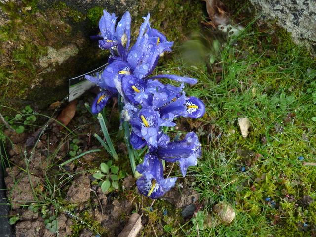couleurs d'hiver au jardin  P1050016