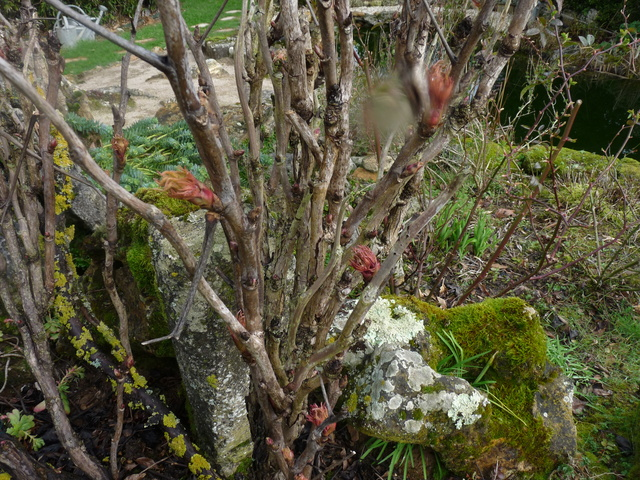 couleurs d'hiver au jardin  P1050017