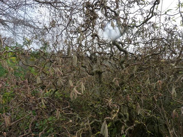 couleurs d'hiver au jardin  P1050019
