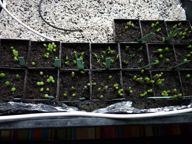 semis de Cactées : Trichocereus et autres - Page 3 P1050026